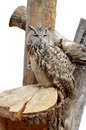 Adult night owl predator the jerusalem biblical zoo animals on white background Stock Photo