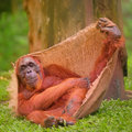 Adult orangutan sitting with jungle as a background Royalty Free Stock Photo