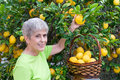 Adult picking lemons from tree Royalty Free Stock Images