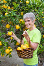 Adult picking lemons from tree Royalty Free Stock Photos