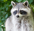 Adult raccoon portrait Royalty Free Stock Photo
