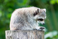 Adult racoon on a tree Royalty Free Stock Photo