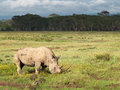 Adult rhino with two big horns grazing in a field with flowers on a background of trees and cloudy sky in the Nakuru National Park Royalty Free Stock Photo