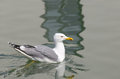 Adult seagull swimming on calm water closeup side view of a single with a reflection and copyspace Stock Photos
