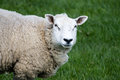 Adult sheep close up profile yorkshire dales england Stock Images