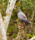 Adult Snail Kite Royalty Free Stock Photo