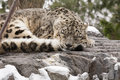 Adult snow leopard asleep during snow an on a laden rock with tail curled around it for warmth and unmelted flakes atop his Royalty Free Stock Images