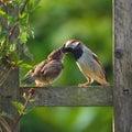 Adult sparrow feeding juvenile