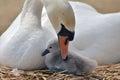 Adult swan nurturing cygnet Royalty Free Stock Photo