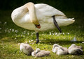 Adult swan preening whilst cygnets snooze on river bank Royalty Free Stock Photo