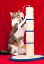 Adult tabby cat playing with scratching post over red background Royalty Free Stock Images