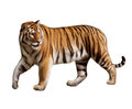 Adult tiger walking turned head isolated realistic illustration white background Stock Image