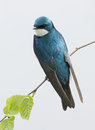 Adult Tree Swallow Royalty Free Stock Photo