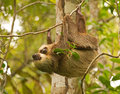 Adult two toed sloth holds her baby slowly climbing down vine Royalty Free Stock Photos