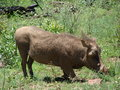 An adult warthog kneeling on grass eating Royalty Free Stock Photos