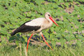 An adult of white stork walking on the grass / Cic Stock Images