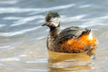 Adult white tufted grebe single swimming on lake Royalty Free Stock Photo