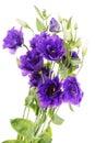 Advantage purple flower eustoma Royalty Free Stock Photo