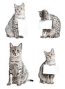 Advertising egyptian mau cats Royalty Free Stock Photography