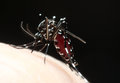 Aedes mosquito sucking blood aegypti from human body Royalty Free Stock Image
