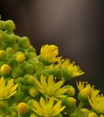 Aeonium flowers Royalty Free Stock Photo