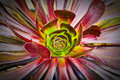 Aeonium succulent Photo stock