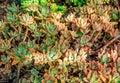 Aeonium Succulent Subtropical ...