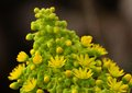 Aeonium undulatum starting to bloom Royalty Free Stock Photo