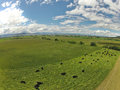 Aerial Of Grazing Cattle