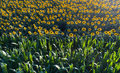 Sunflower and corn field Royalty Free Stock Photo
