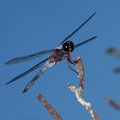 Aerial predator black dragonfly with white on its body waiting for a meal Royalty Free Stock Photo