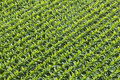 Aerial View of Corn Field or Cornfield Royalty Free Stock Photo