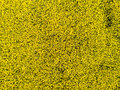 Aerial view of cultivated rapeseed field from drone pov Royalty Free Stock Photo