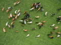 Aerial view of grazing cows in a herd on a green pasture in  summer Royalty Free Stock Photo