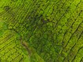 Aerial view of Tea plantation, Shot from drone Royalty Free Stock Photo