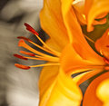 Aerodynamic Flow of Lilies Royalty Free Stock Photo