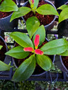 Aeschynanthus or gesneriaceae sp lamiales Royalty Free Stock Photography