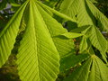 Aesculus hippocastanum leaves is a large deciduous tree commonly known as horse chestnut or conker tree Stock Photo