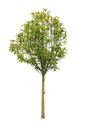 Aesculus tree Royalty Free Stock Image