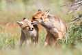Affection pair of foxes Stock Photo