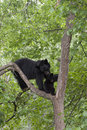 Affectionate black bear mom sow and cub in a tree Royalty Free Stock Image