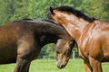 Affectionate Horses Royalty Free Stock Photos