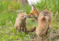 Affectionate red foxes yellowstone national park fox mother and kit usa Stock Images