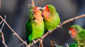 Affectionate Rosy faced Lovebirds Royalty Free Stock Photo