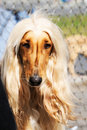 Afghan borzoi portrait Royalty Free Stock Image