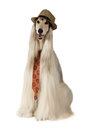 Afghan hound in the hat and tie over white Royalty Free Stock Photo