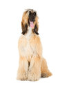 Afghan hound sage balochi ogar afgan eastern greyhound persian greyhound Stock Image