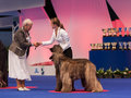 Afghan hounds in the show ring july th paris france hound ch felix felicis del gran pamir at world dog Royalty Free Stock Photography