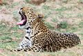 Afrcian Leopard yawning with good view of teeth and whiskers Royalty Free Stock Photo