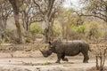Afrcian white rhinoceros standing in savannah,  in Kruger park Royalty Free Stock Photo
